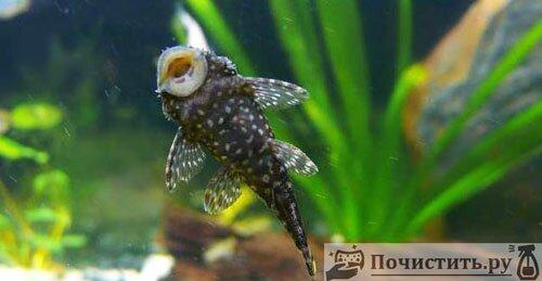 Рыбки чистящие аквариум самостоятельно