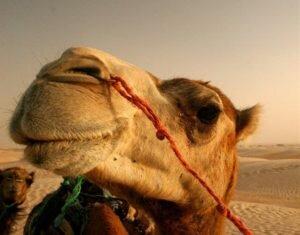 Преимущества верблюжьих покрывал